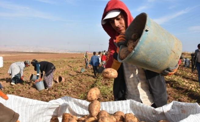 Ahlat'ta Patatesten Bu Yıl 350 Milyon TL Gelir Bekleniyor
