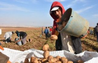 Ahlat'ta Patatesten Bu Yıl 350 Milyon TL Gelir...